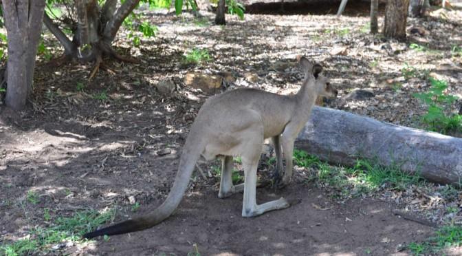 Tag 26: UNDARA Bush Camp – Leben mit Kängurus